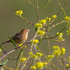 Golden-headed Cisticola(Cisticola exilis)