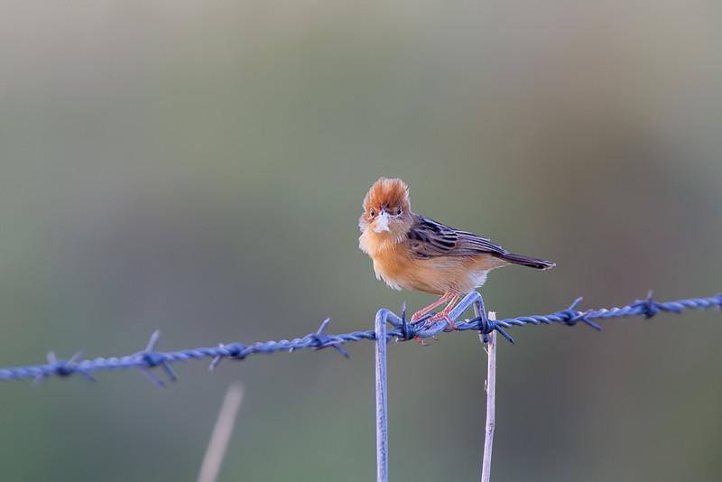 Golden-headed Cisticola(Cisticola exilis)