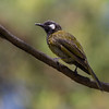 White-eared Honeyeater (Lichenostomus leucotis)