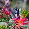 New Holland Honeyeater (Phylidonyris novachollandiae)