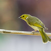 White-Plumed Honeyeater (Lichenostomus penicillatus)