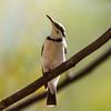 Banded Honeyeater (Cissomela pectoralis)