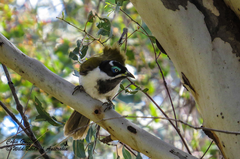 Blue-faced Honeyeater (Entomyzon cyanotis)