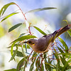 Fuscous Honeyeater (Lichenostomus fuscus)