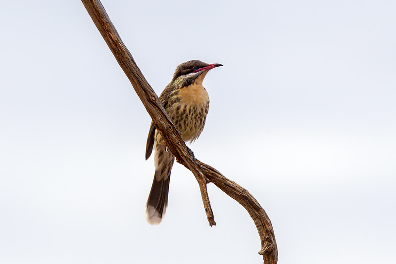 Spiny-cheeked Honeyeater(Acanthagenys rufogularis)