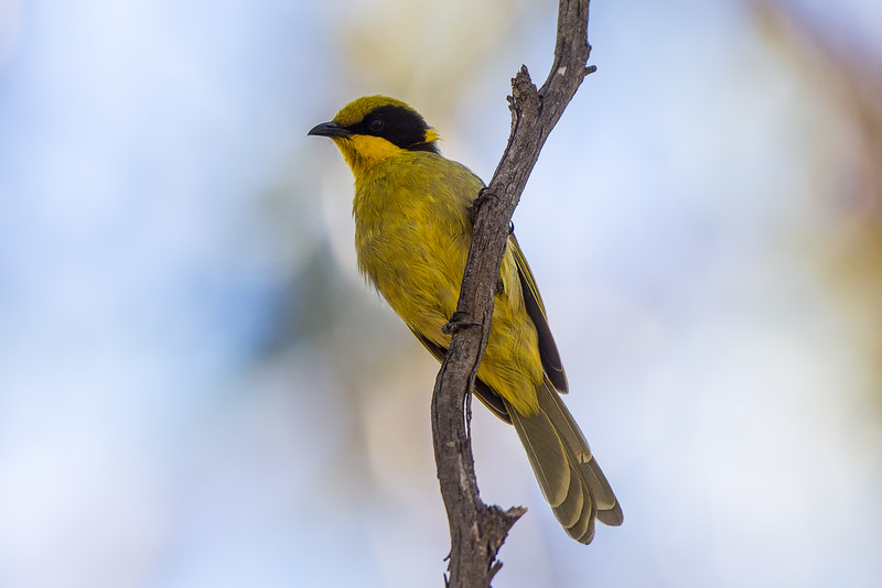 Yellow-tufted Honeyeater (Lichenostomus melanops)