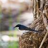 Paperbark Flycatcher (Myiagra nana)