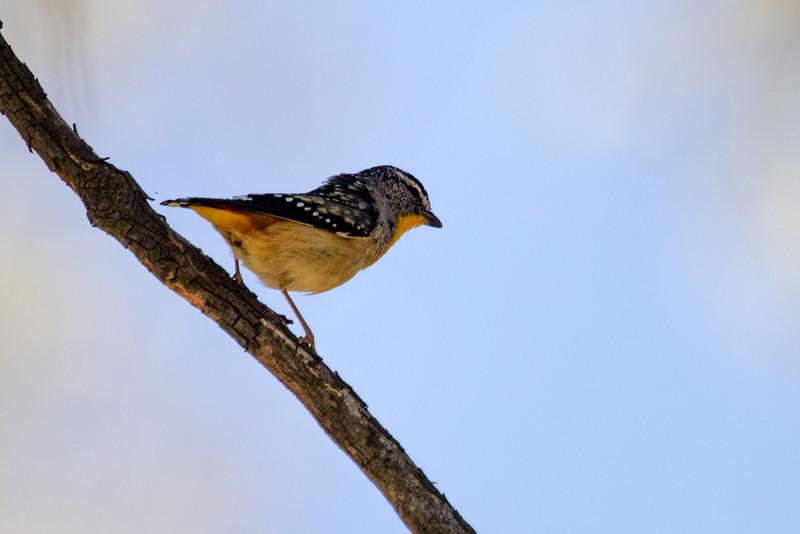 Spotted Paralote (Pardalotus punctatus)