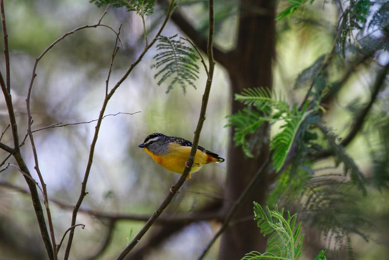 Spotted Pardalote(Pardalotus punctatus)