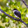 Mangrove Robin (Peneoenanthe pulverulenta)