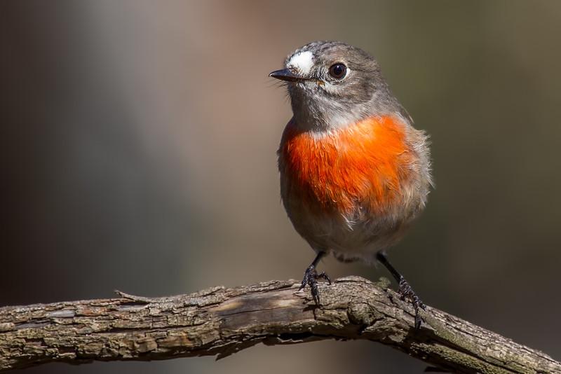 Scarlet Robin (Female) (Petroica boodang)