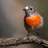 Scarlet Robin (Female) (Petroica boodang)