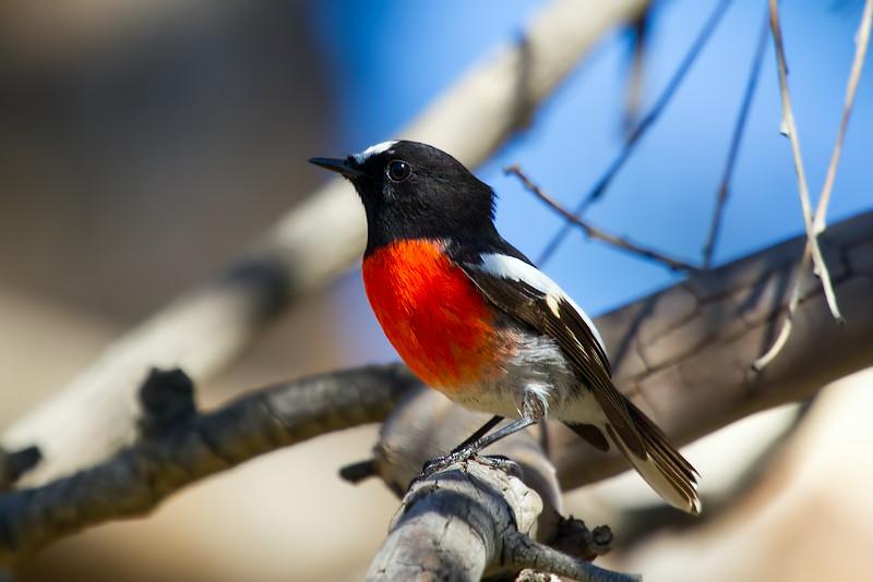 Scarlet Robin (Petroica boodang)