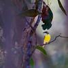 Pale Yellow Robin (Tregellasia capito)