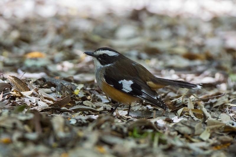 Buff-sided Robin (Poecilodryas cerviniventris)