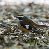 Buff-sided Robin (Poecilodryas cerviniventris)