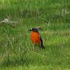 Flame Robin (Petroica phoenicea)
