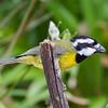 Crested Shrike-tit (Falcunculus frontatus)