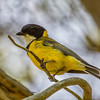 Golden Whistler (Pachycephala pectoralis)