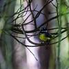 Grey Fantail (Rhipidura albiscapa)