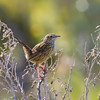 Striated Fieldwren (Calamanthus fuliginosus)