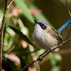 Purple-crowned Fairywren (Malurus coronatus)