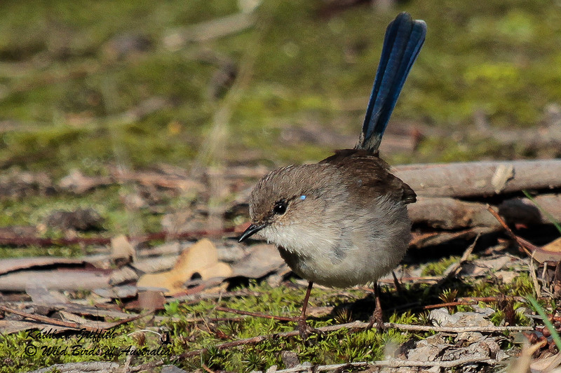 Superb Fairy-Wren (Nalurus cyaneus) Female