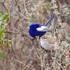 White-winged Fairywren (Malurus leucopterus)