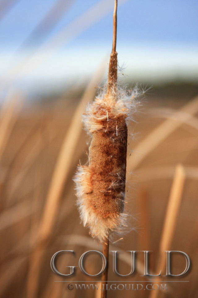 January Cattail