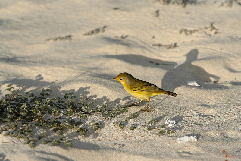 A yellow warbler and its shadow.