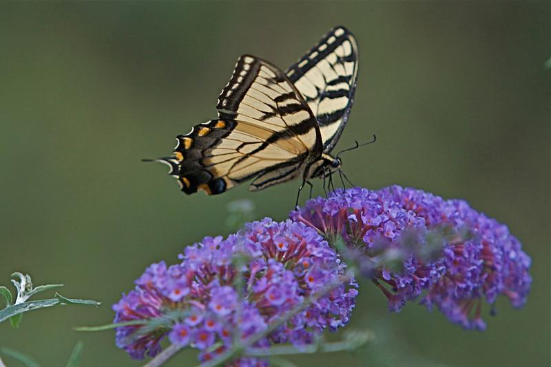 Tiger swallowtail butterfly on a butterflybush