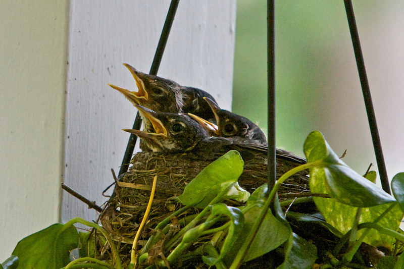 new baby robins in a nest in a hanging basket