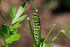 Eastern swallowtail caterpillar eating parsley