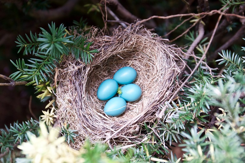 robin's eggs in yew hedge, May 2015