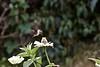 Hummingbird on zinnia, September 2015
