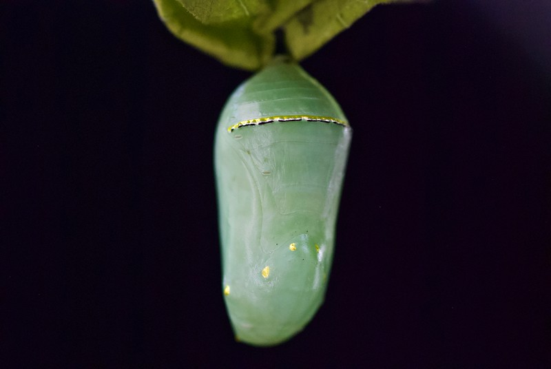 Monarch jade gold