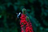Ruby-throated Hummingbird on lobelia