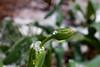 ice drop on tulip