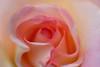 A rose named Aloha.