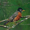 "30 in 30 Challenge Day 4: ""American Robin"" © 201 Susie Morrell 6x6 original oil on panel; private collection"