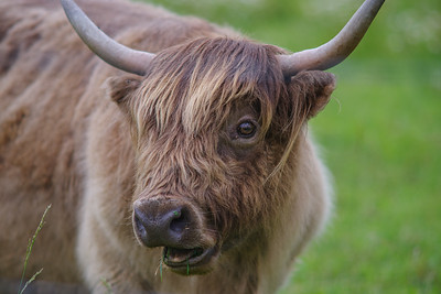 Scottish Highland portrait