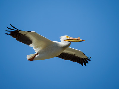 Hundreds of White Pelicans gathered over a creek