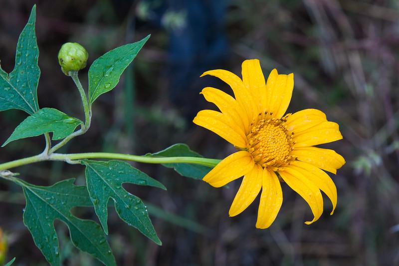 Tithonia diversifolia (Kanak-gol)