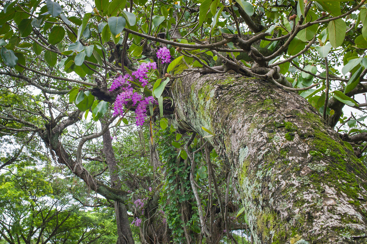 Tree Orchids@Gadinglaj to Ajra road