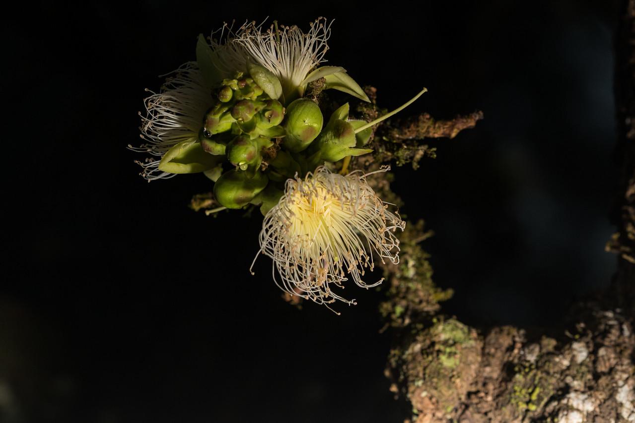 Careya arborea (Kumbha)