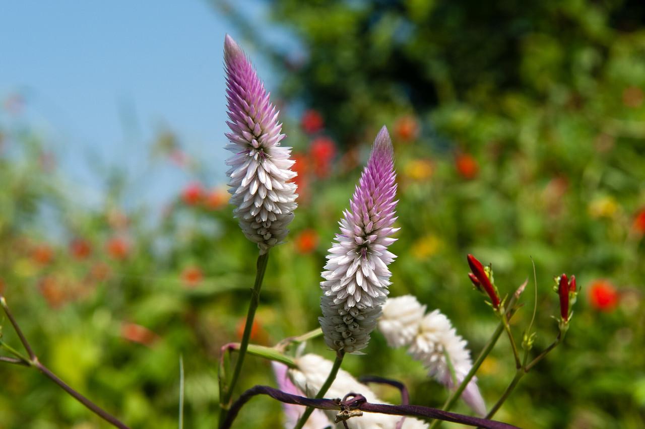 Silver Spiked Cockscomb (Celosia argentea)