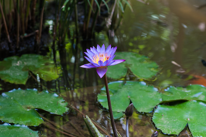 Star Water Lily (Nymphaea cyanea)