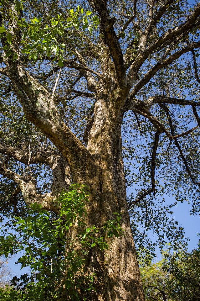 Haldu tree rising to over 20m