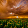 Sunset over the Sunflowers