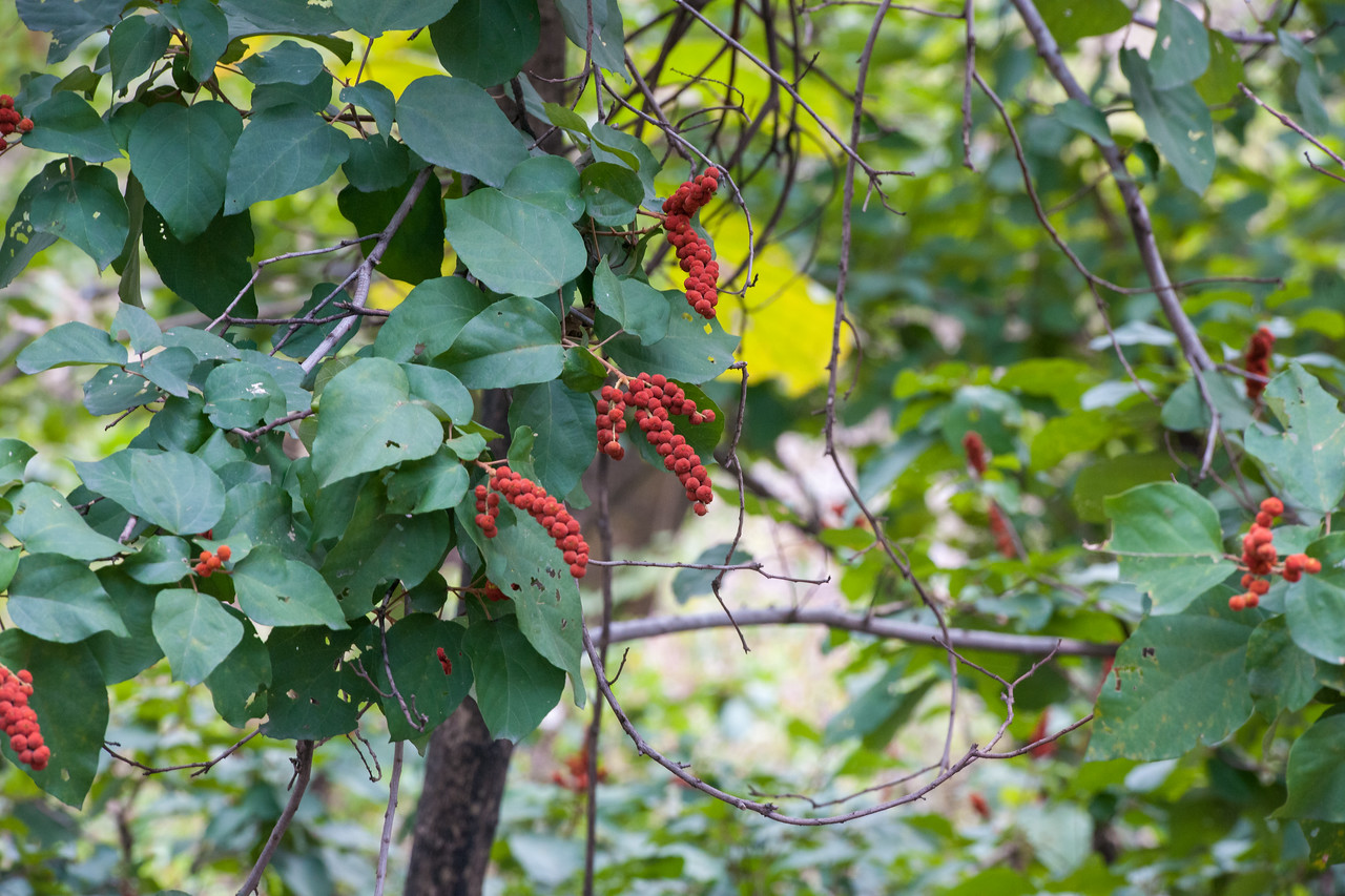 Sindoori tree